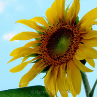 Sunflower Photo, Flower, Botanical Art Print Photograph, Nature Picture, Bright Colorful, Floral Wall Art, Home Decor, Outdoor, Yellow, Blue