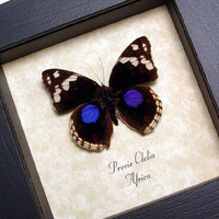 Framed Butterfly Precis Clelia Real Purple Spot Shadowbox Frame 8130