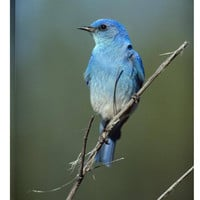 Mountain Bluebird Perching on Twig