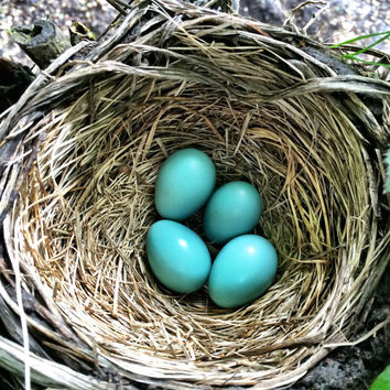 Robin Egg Blue | Fine Art Photography | Nature Image | Bird Nest | Blue | Garden Photo