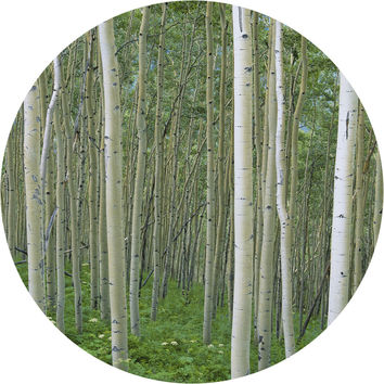 Birch In Uncompahgre National Forest Circle Wall Decal