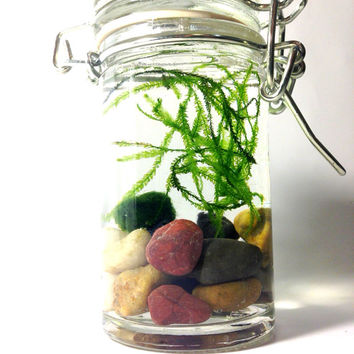 Marimo Moss Ball Tiny Jar Terrarium with Java Moss Buddy / Green Gift