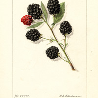 Blackberries, Early King (1916)