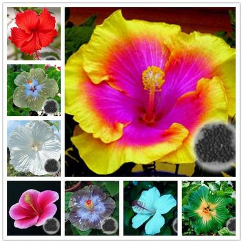 50pcs/bag Hibiscus Flower Seeds giant hibiscus seed bonsai flower seeds outdoor plant seeds for home garden easy to grow