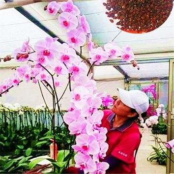 Phalaenopsis Gaint Orchid  flower  Big flowers for rooms indoor Orchid alive pots for orchids for garden Plants-100pcs