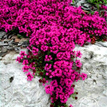 New Seeds 2016! 100 Seeds A Lot Scarlet Creeping Thyme Seeds Heirloom Non GMO Heirloom Ground Cover flower Seeds