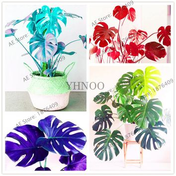 105 Pcs/bag Bottle Palm Tree Turtle Seeds Exotic Plants monstera ceriman Tropical Ornamental plant