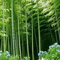 100 Giant Moso Bamboo Tree Fresh Seeds | Phyllostachys Pubescens | Home Garden Decor Plants Growing Organic Heirloom Seeds Outdoors