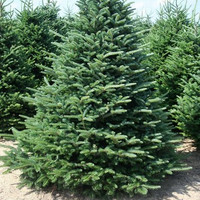 5.5 - 6 ft. Real, Live Christmas Tree Delivered to your Door