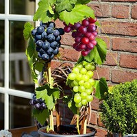 50 pcs bag grape seeds Miniature Grape Vine Seeds Organic fruit seeds Succulent plants easy to grow plant for garden