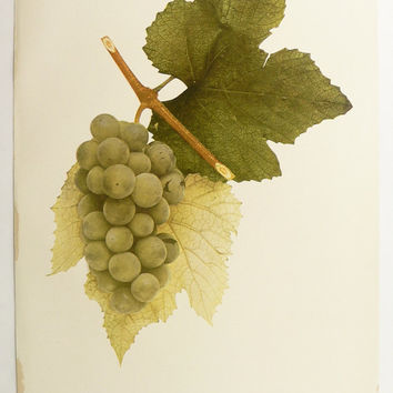1908 Green Grapes Print, Vintage Print Of Grapes, Wine Bar Art Print, Antique Fruit Print, Pocklington Grapes, Kitchen Art Gift for Cook