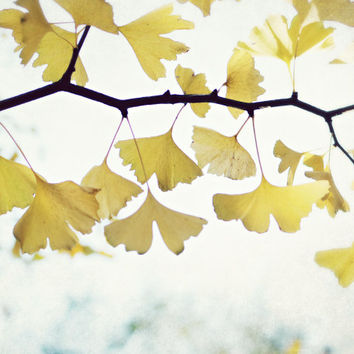 "Nature photography - Ginkgo tree leaves - white yellow gold - minimal nature wall art  fine art nature photography  ""Grateful"""