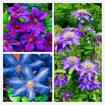 Big Sale! 200pcs Multicolor Clematis Seeds clematis garden flowers Wire Lotus Plant Seeds Climbing clematis plants bonsai seeds