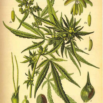 Cannabis Sativa Botanical Illustration Poster 24x36