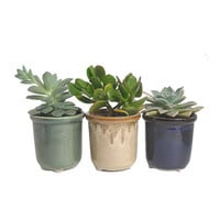 3 Potted Succulents In Round Ceramic Pot Planters Wedding Hostess Party Favors Gifts