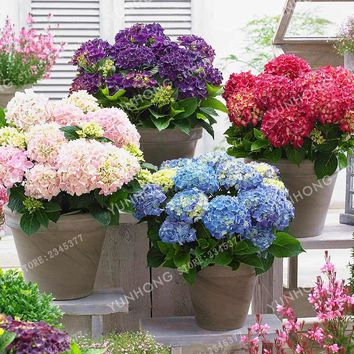 Genuine! 10 Pieces/Pack Hydrangea Seeds Potted Balcony Planting Is Simple Mixed Hydrangea Flowers Home Plant Bonsai Viburnum