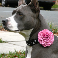 Large Dusty Rose Dog Collar Flower Puppy Blooms