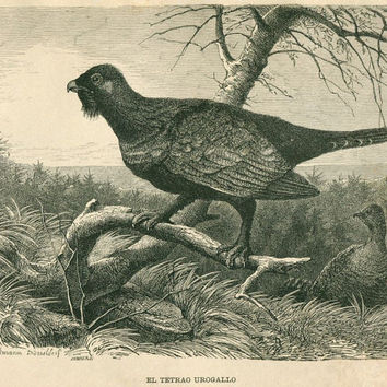1883 Vintage Print of Birds,   Western Capercaillie Engraving, Brehms Life of Animals