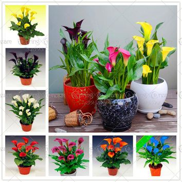100 pcs calla lily seeds rare flower seeds for home garden planting (not calla lily bulbs),bonsai pot plant perennial flowers