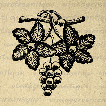 Grapes and Leaves Digital Printable Download Antique Image Illustration Graphic Vintage Clip Art for Transfers HQ 300dpi No.1310