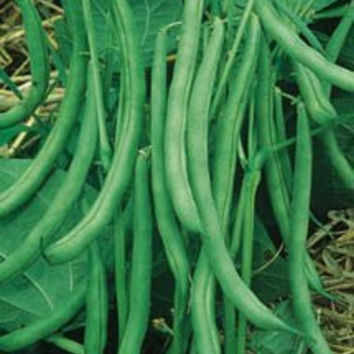 Contender Stringless Bush Beans, 400+ Seeds