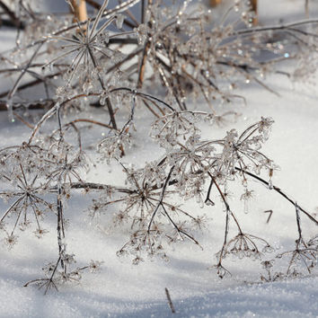 "Queen Anne's Lace In Winter, Ice, Nature Photography, Maine Photo, Snow, White, Silver, Fine Art - 11"" x 14"" Framed, Matted & Signed Print"