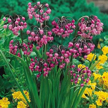 Nodding Pink Onion Herb Seeds (Allium Cernuum) 50+Seeds