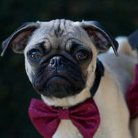 Dog Collar and Cranberry Bow Tie Wedding Photo Prop
