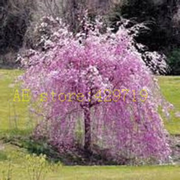 20 pcs fountain weeping cherry tree,DIY Home Garden Dwarf Tree, ornamental-plant bonsai sakura tree seeds for home