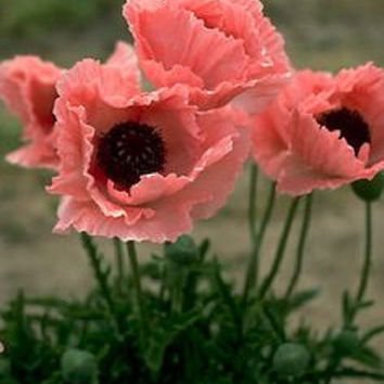Coral Reef Poppy Flower Seeds / Papaver Orientale / Perennial 40+