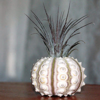 Air Plant In Sea Urchin  - The Guatemalan