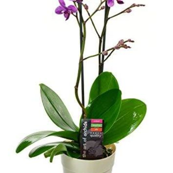 KaBloom Live Orchid Plant Collection: 18'' Maxiflora Phalaenopsis Purple...