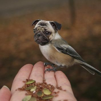 Funny Animal Photography - Half Bird Half Dog Print - Pug Dog - Chickadee - Bird Body - Pug Face - Weird Animal - Strange Species - 8x10