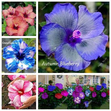 Heirloom 100 Hibiscus Seeds Flower Large Blooms Hardy DIY Home Garden potted or yard flower plant easy-growing Free Shipping