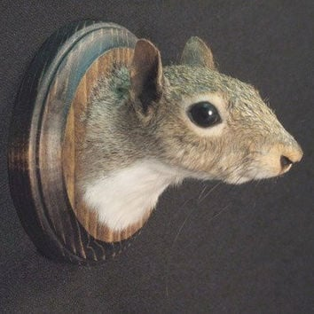 SQUIRREL TROPHY HEAD real animal rogue taxidermy sculpture novelty mount