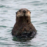 Sea Otter Photo Nature and Wildlife Photo Print Matted 8x10 11x14 5x7