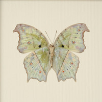 Real Butterfly Taxidermy Mother of Pearl Verso