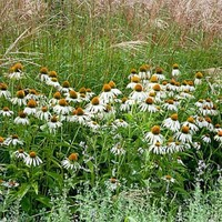 White Coneflower seeds, Echinacea Purpurea alba - Wildflower Seeds from American Meadows