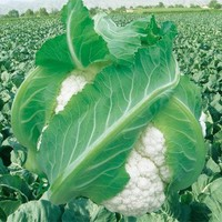 Tianshan snow cauliflower seeds vegetable seeds 10seed