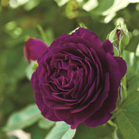 20 Purple Rare Rose Seeds Fresh Exotic Rose Flower Seeds Purple Rose