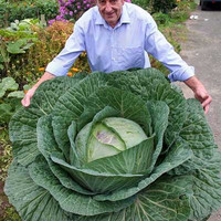 100Seeds Rare Giant Russian Cabbage Seeds, High-Quality Vegetable for home garden