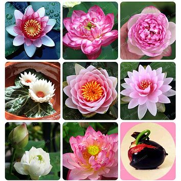 Flower Seeds Bowl Lotus Flower Hydroponic Aquatic Plants Lotus Seeds Perennial Water Lily Plant for Mini Garden 1pcs/PACKS