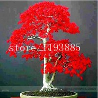 20pcs/bag  japanese red maple tree seeds  Bonsai tree seeds. rare red maple seed. Balcony plants for home garden