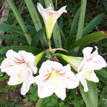 Amaryllis Hippeastrum SEEDS 2011 Season by TheMaineCoonCat on Etsy