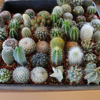 Twenty (20) Assorted potted Cactus cacti Collection 2 inch plastic pots succulents great for wedding gifts & favors