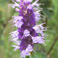 139 blue giant hyssop flower seeds