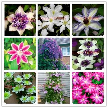 100 pcs clematis seeds, potted seed, clematis flower seed Garden plants, perennial planting rare flower seeds for flower pot