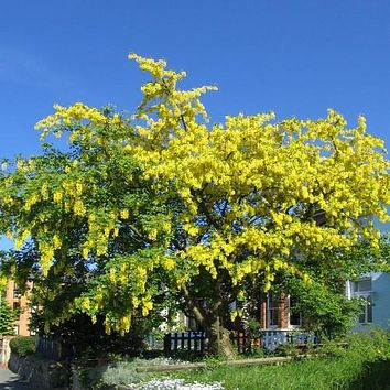 Golden Chain Tree Seeds (Laburnum anagyroides) 25+Seeds