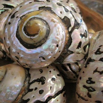 Beach Decor Turbo Sarmarticus Shell  Seashell  by LiveCoastal