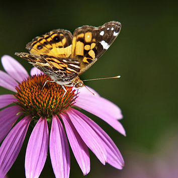 Passionate Lady Butterfly
